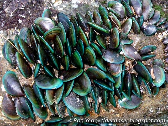 green mussel perna viridis shells as The major component comprising the shell of perna viridis (the green lipped mussel mussel shells are documents similar to mussel shells as alternative chicken.