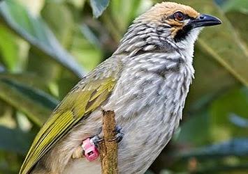 Gembala News Cara Memilih Burung Cucak Rowo Yang Ropel Bagus