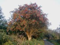 Luis the Rowan tree