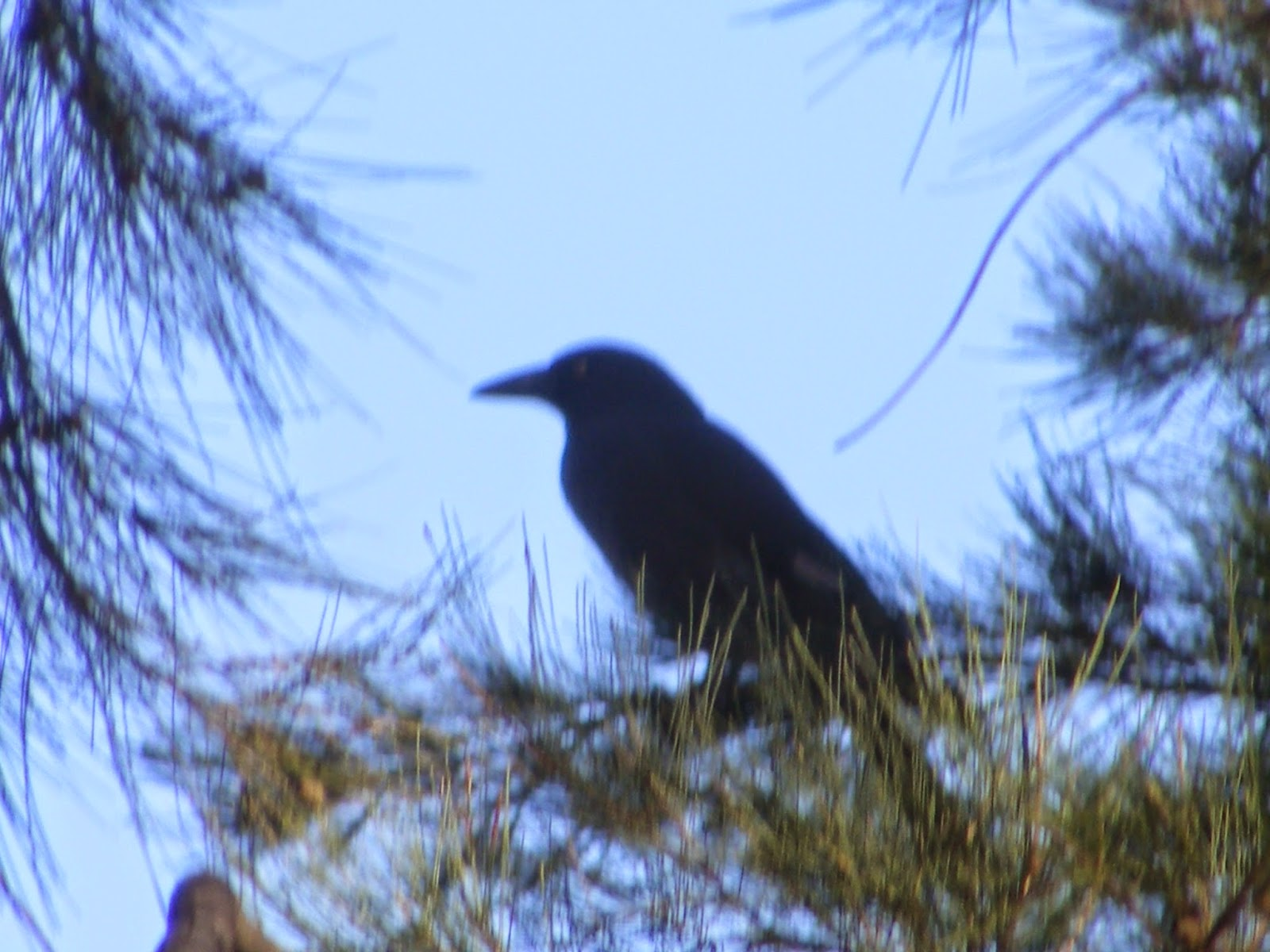 A light in the darkness currawong totem animal currawong totem animal buycottarizona