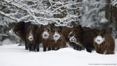 Heo rừng Sus scrofa ở Estonia. Ảnh: Wild Wonders of Europe/Zacek/NPL.
