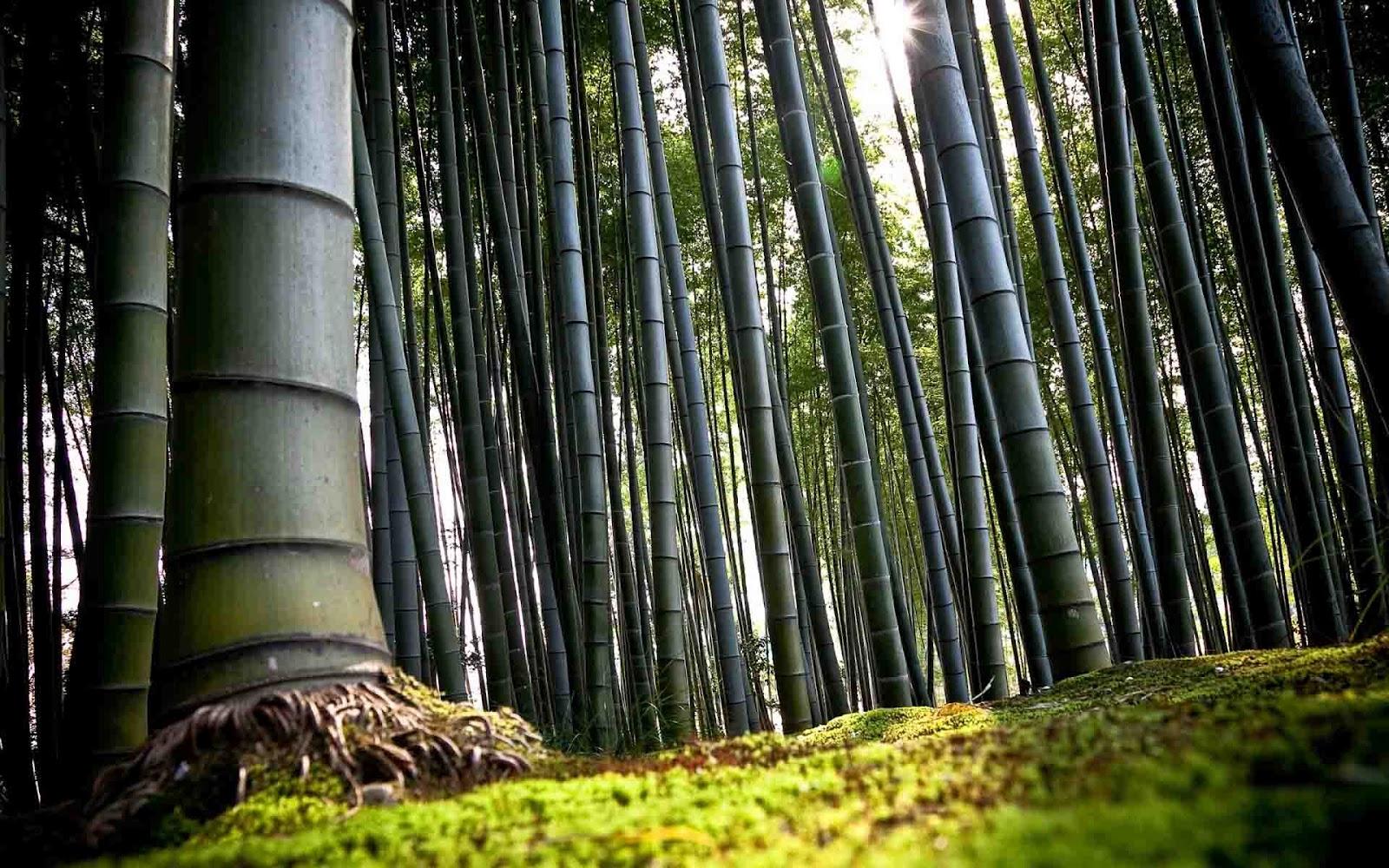 http://1.bp.blogspot.com/-7H8Y3uq2vSg/Tz8nrbEICXI/AAAAAAAAAWs/vun1feU5v1w/s1600/bamboo-forest-wallpaper-1920x1200.jpg
