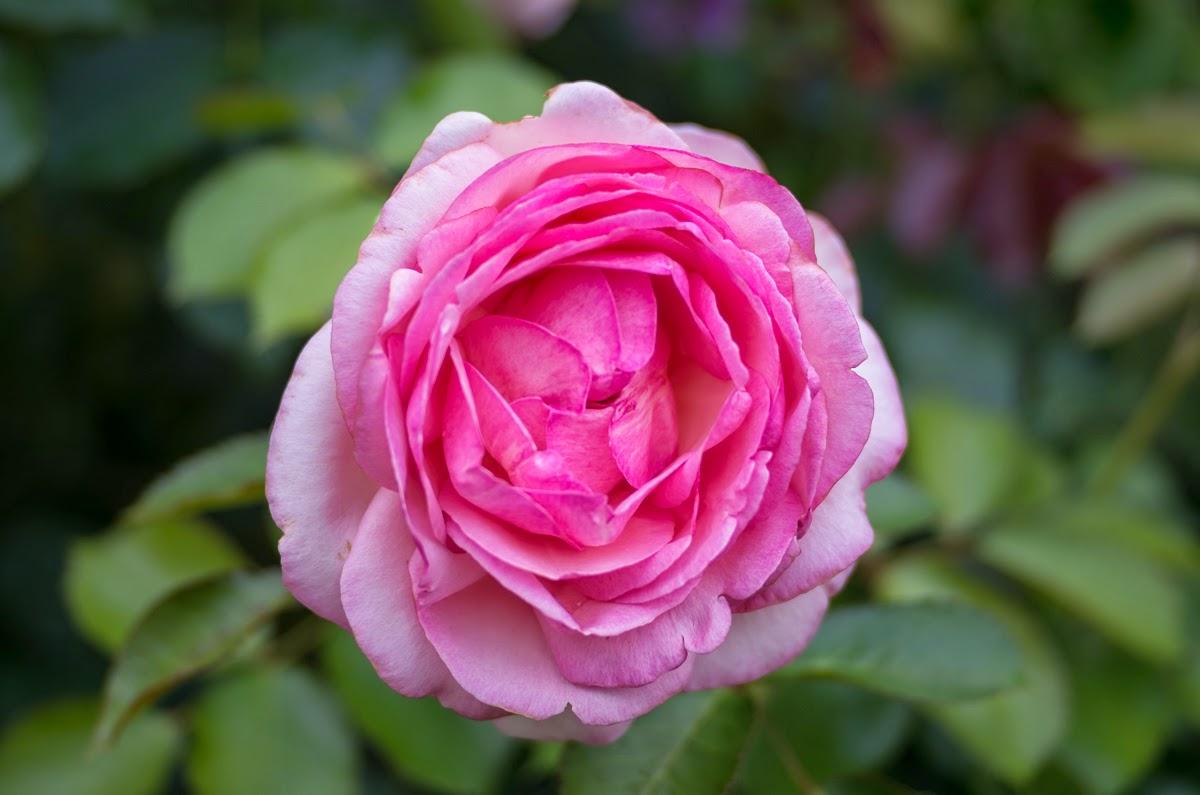 i shoot pef meine kleine pentax welt pentax fotografie blog eine rose ist eine rose ist. Black Bedroom Furniture Sets. Home Design Ideas