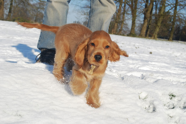 Cocker spaniel puppy in the snow