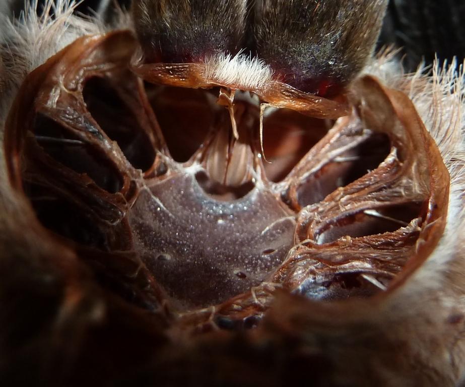 Dave Hubble\'s ecology spot: Tarantula anatomy II: the cephalothorax