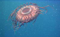Deep sea-Atolla jellyfish