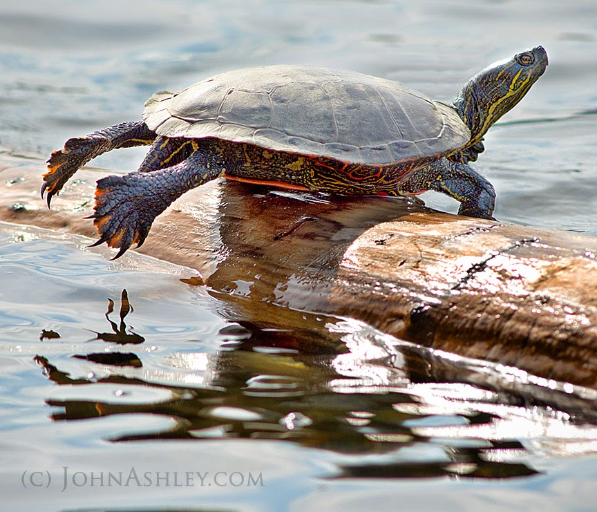 sunning turtle (c) John Ashley