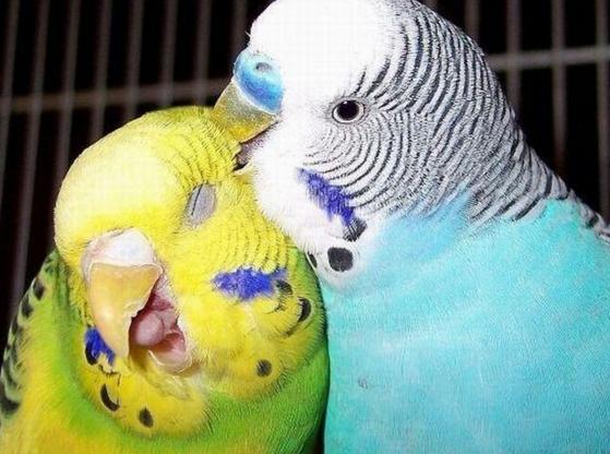 Зачем волнистый попугай