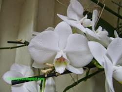 Clicca per Coltivare le Phalaenopsis