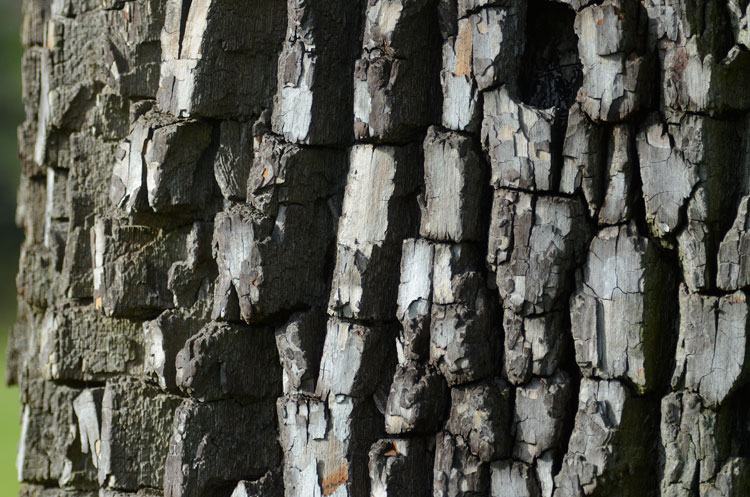 Bark of a common persimmon tree