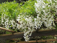 拝殿の南にある白藤は甘い香りが漂っていた