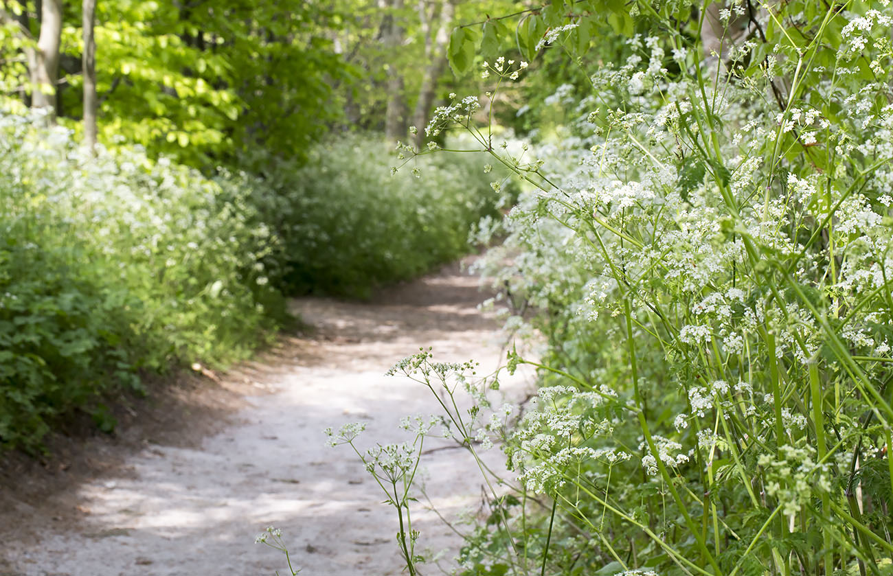 Lane full of Cow Parsley, Anthriscus sylvestris.  High Elms Country Park, 5 May 2014.