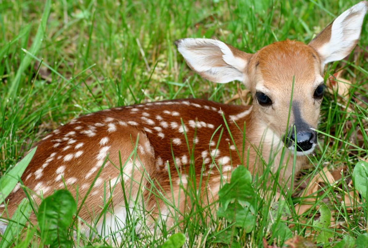 deer_pictures_wallpapers_beautiful_animals_wildlife_forest_fawnin