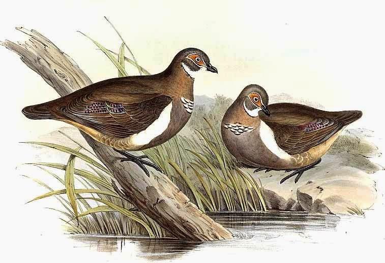 Partridge pigeon Geophaps smithi