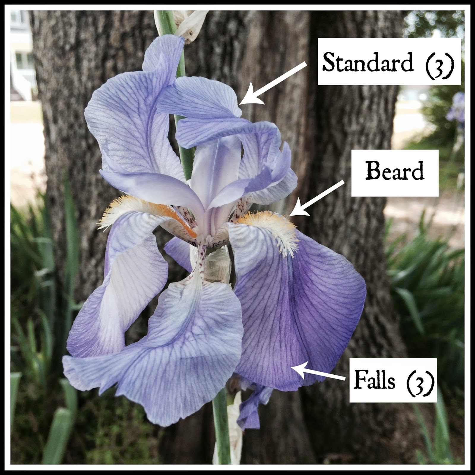 Acorn hill academy nature study iris sara had us go out and identify the parts of an iris flower and let me tell you there are more than i ever thought there would be izmirmasajfo