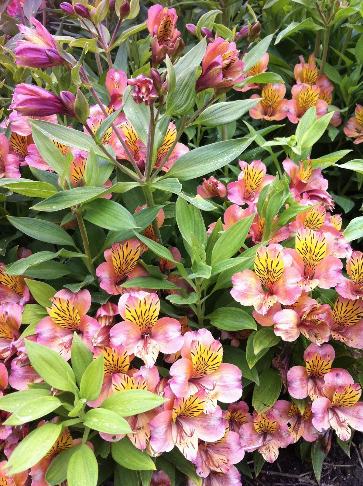 pennsylvania garden plant profile alstroemeria peruvian lily. Black Bedroom Furniture Sets. Home Design Ideas