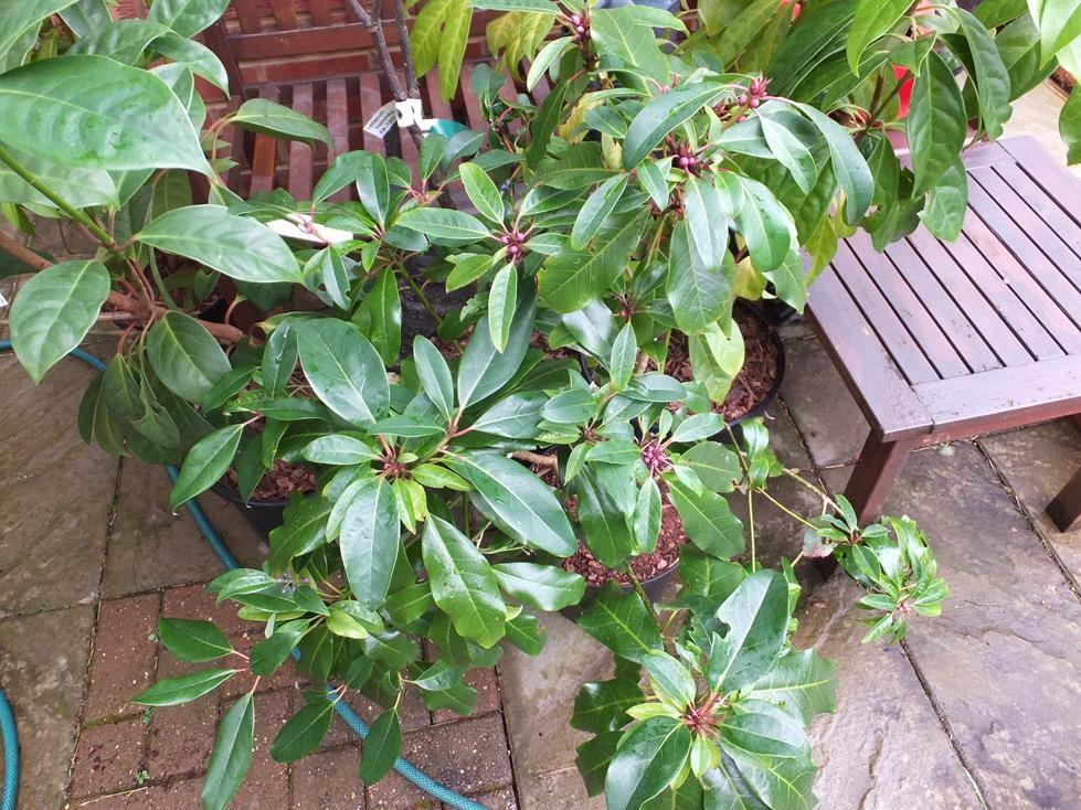Daphniphyllum macropudum var. humile