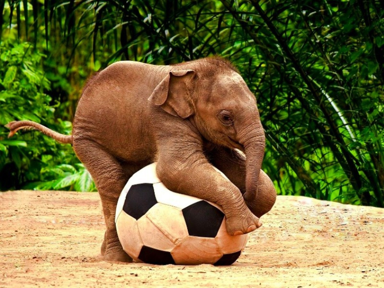 Baby elephant playing with a football hd wallpaper - Baby elephant wallpaper ...