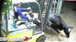 buongiornolink - Il macello degli orrori di Ghedi (Bs) mucche torturate e batteri letali per l'uomo