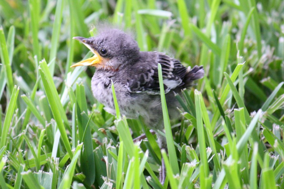 florida state bird. Florida State Bird (Mockingbird amp; Baby)