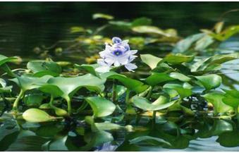tanaman air enceng gondok