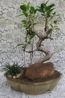ficus tree bonsai ahmedabad