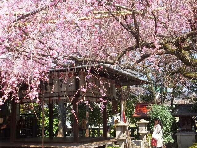 桜の花の下で幸福になるよう彼女は祈っていた!