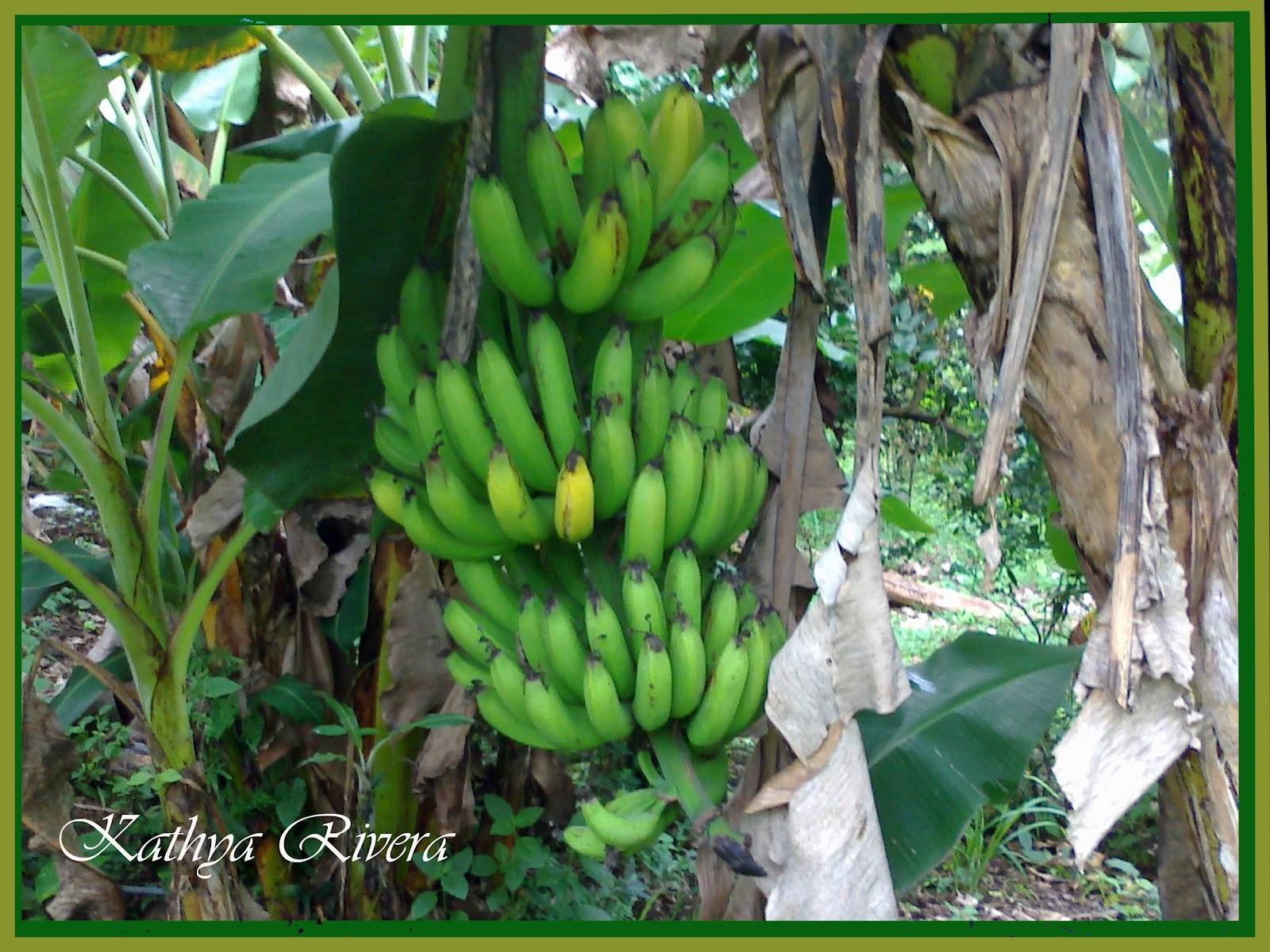 Karisa: Propiedades y beneficios del banano