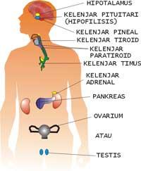 hormon steroid manusia