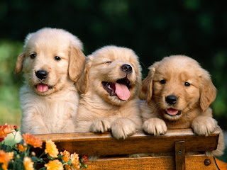 Cute Golden Retriever Puppies (1)