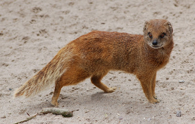 Mongoose HD Wallpapers