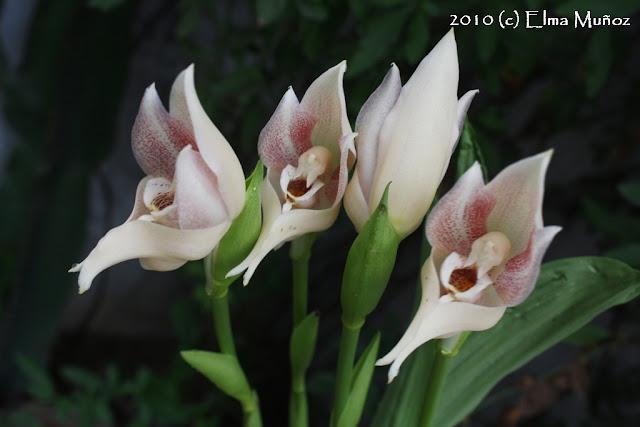 Anguloa Virginalis. Foto de orquídea