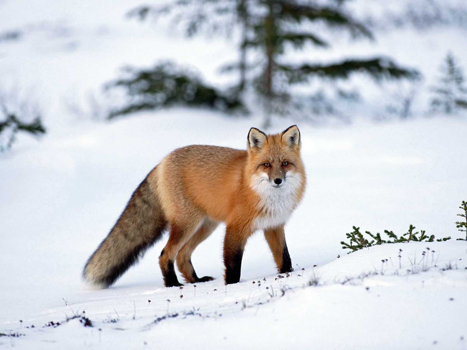 funny wallpaper red fox - photo #21