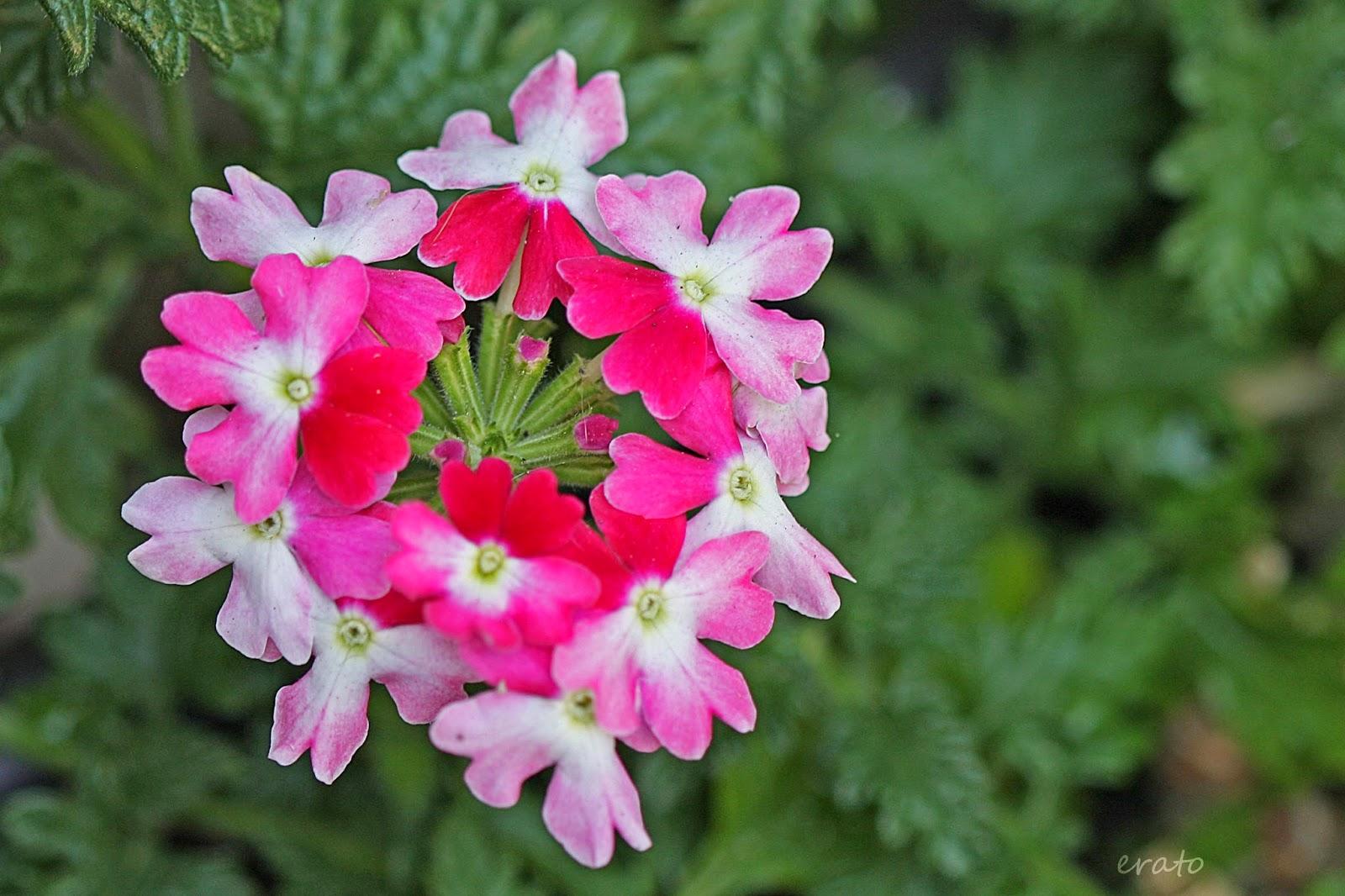 verveine fleur fleurs aromatiques with verveine fleur fleur de verveine verbena officinalis. Black Bedroom Furniture Sets. Home Design Ideas