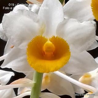 Dendrobium thyrsiflorum, Dendrobium densiflora