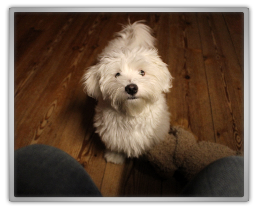jofee maltese dog puppy 24 weeks old 5 months cute adorable marjolein kucmer pet chaos memebox  2 saccone joly