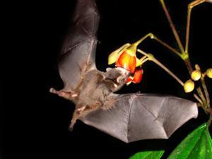 Kelelawar, Mamalia Pemilik Otot Supercepat