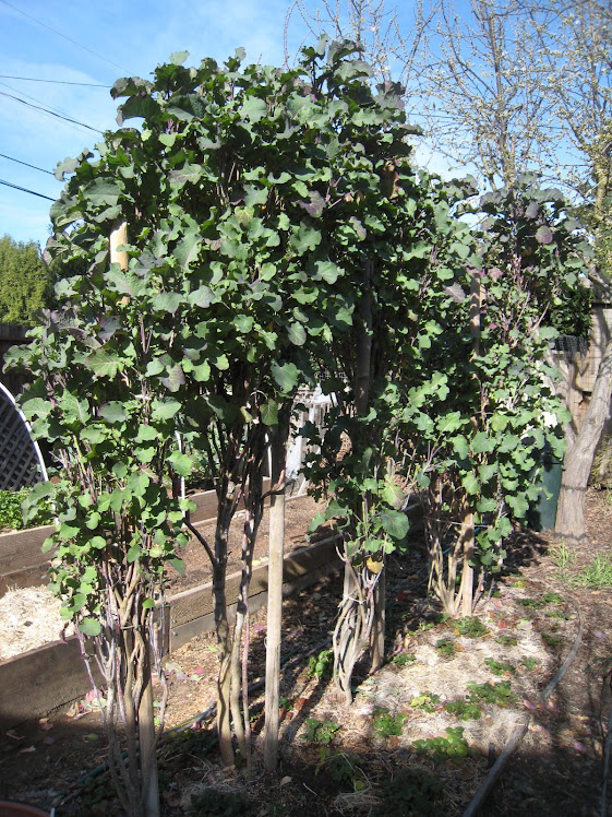 Mature Tree Collards