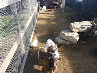 Goats at Catalunya Plants