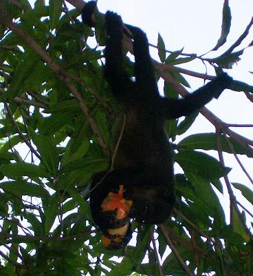 howler monkeys Nicaragua