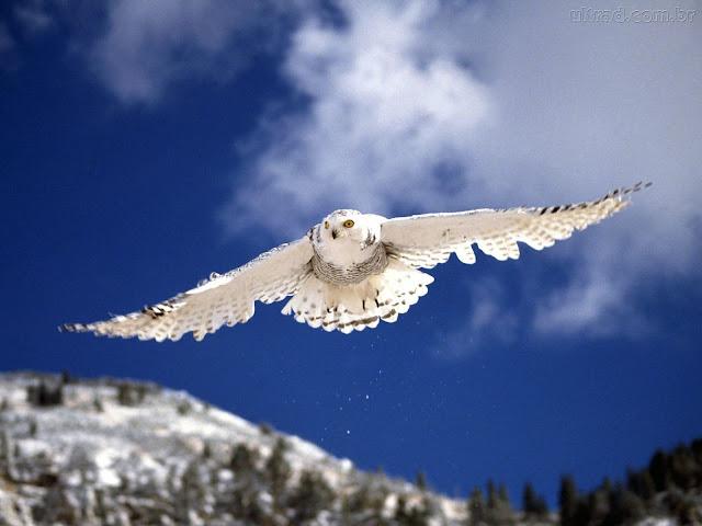 Coruja branca vôo