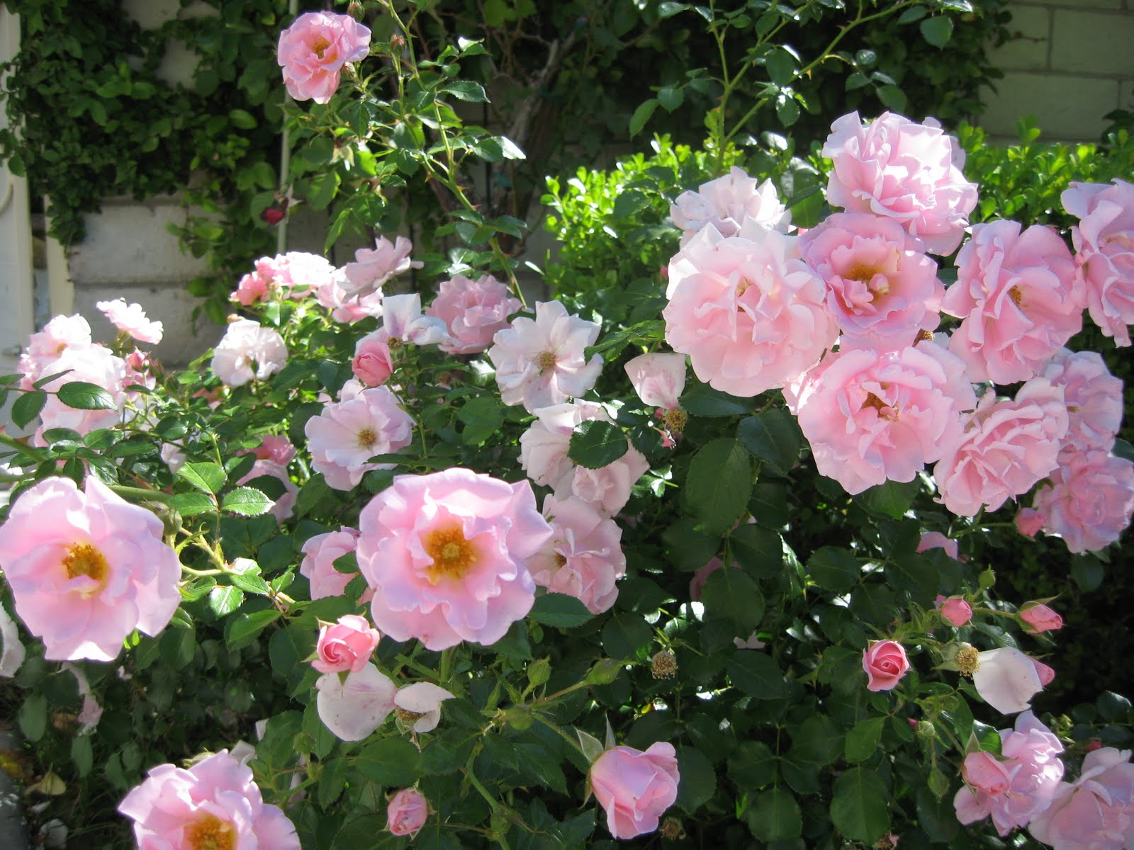 Roses garden wendys hat i have many precious pink carpet roses that spread across the ground dhlflorist Image collections