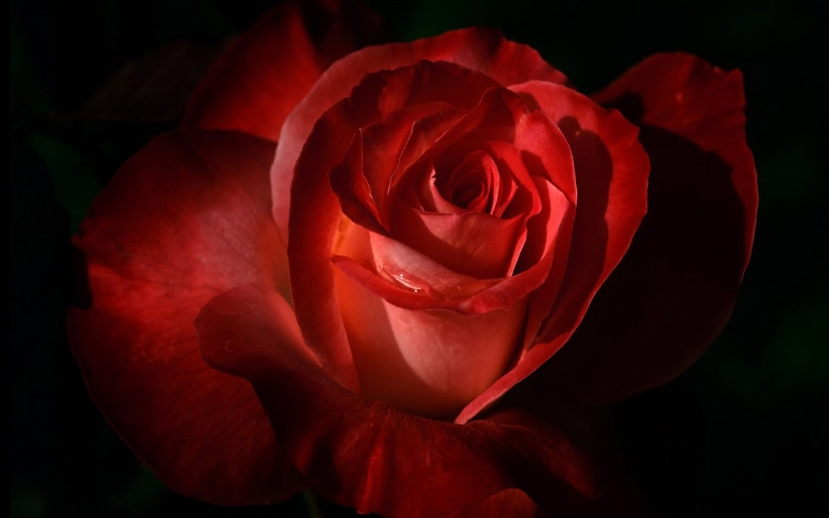 Red Rose Widescreen HD Wallpaper