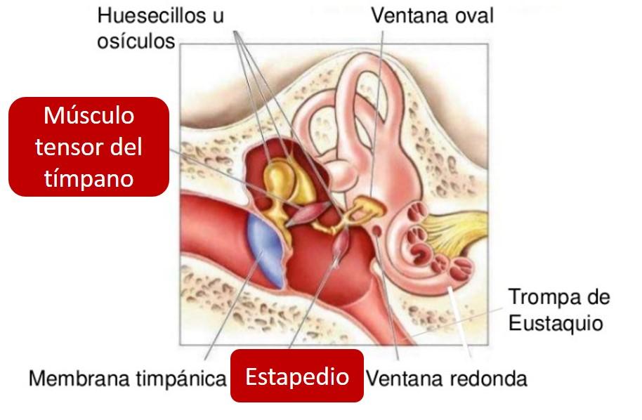 AUDICIÓN. - Anatomia del Sistema Nerviso