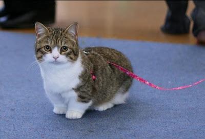 Kucing Jenis Munchkin