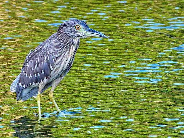 bird, freshwater, stream