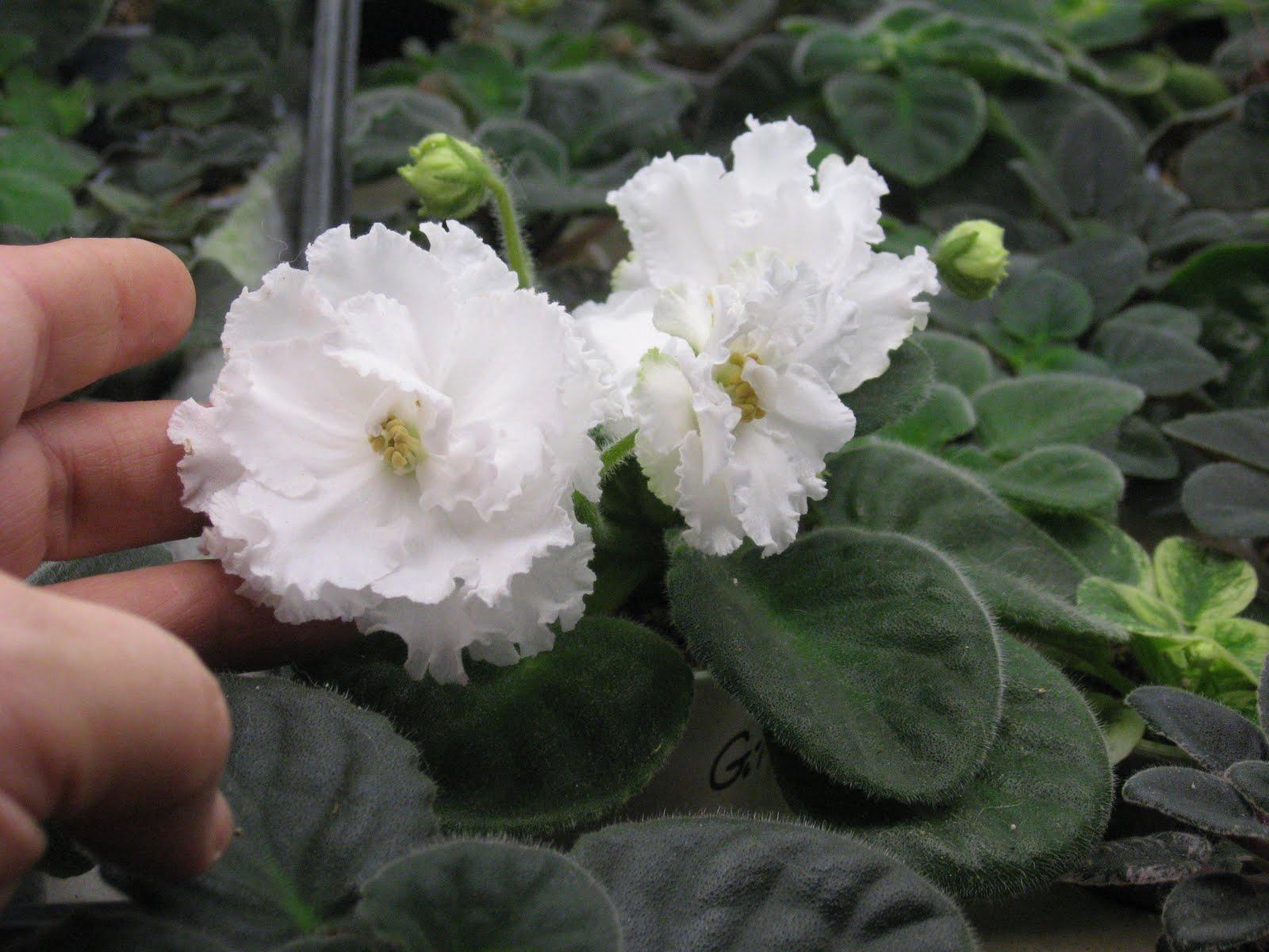 Shanti's African violets: Featured violet: Gillian, big ...