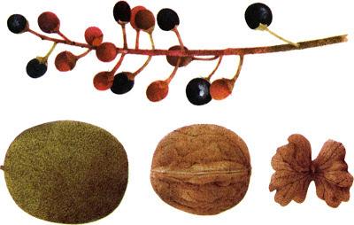 Bird Cherry and Walnut