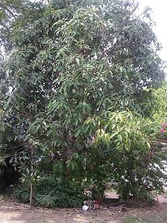 pokok kuiniku