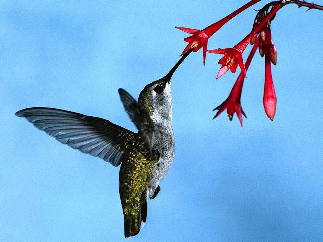 green iridescent hummingbird eating from red flower in flight